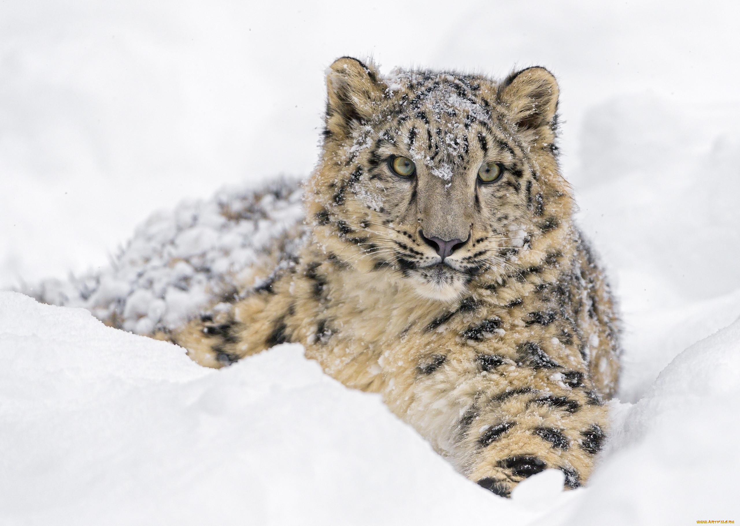 Обои лежит, на снегу, Хищник. Животные foto 8
